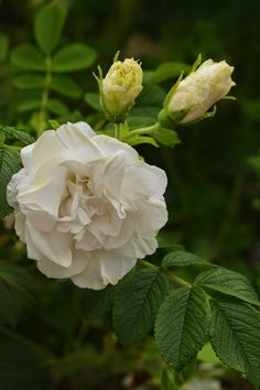 Rosa rugosa 'Blanc Double de Coupert' Most Popular Flowers, Asian Garden, One Rose, Growing Roses, Beautiful Roses, Color Combos, Photos, Plants, Street