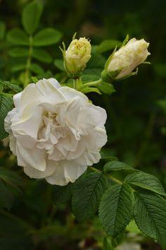 Rosa rugosa 'Blanc Double de Coupert'