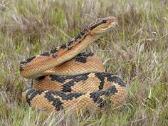*Lachesis mutans* The venom of the Bushmaster snake is used in this remedy. Favourite fact: People who correspond with this remedy often experience suspiciousness, jealousy, and are very talkative