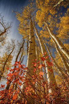 ✯ Red oak brush below gold Aspens reaching high into the sky