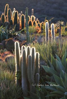 """Long a pariah plant, cactus is becoming popular. You might even say that in the gardening world, """"cactus is the new black."""" Here's why spiny succulents are Black Succulents, Planting Succulents, Organic Gardening, Gardening Tips, Short Plants, Succulent Landscaping, Garden Seeds, Cacti Garden, Garden Path"""
