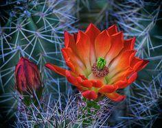 Szépség Sivatagi Tavasz Saija Lehtonen