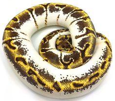 'Calico Enchi Spider' ball python, Loxatee Herp Hatchery.