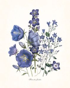 "FLEURS DE JARDIN - ""FLOWERS OF THE GARDEN"" BLUE SERIES PLATE 6 GICLEE PRINT This print features an antique botanical illustration which has been digitally enhanced and added to a light neutral backgro"