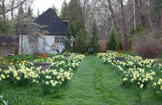 <em>Narcissus</em> 'Honeybird' is naturalized in the lawn above the Teacup Garden. <h6>Photo by Lisa Roper</h6>