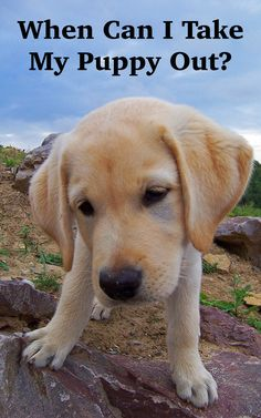 Something all new puppy parents want to know is - when can I take my puppy out - and that's the focus of this article in our puppy vaccination series