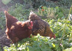 If you're thinking about getting chickens, consider a breed that not only lays lots of eggs, but makes a great pet as well. Description from apartmenttherapy.com. I searched for this on bing.com/images
