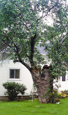 Last surviving apple tree planted by Johnny Appleseed ~ Nova, Ohio