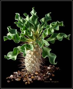 pachypodium. I have a similar pachypodium, but its leaves are not so nicely curly!!  I love this one. But watch out, the needles are long and sharp!!