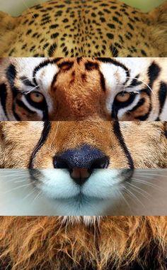 felinos fusión  ·jaguar·tigre·guepardo·puma·león·