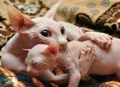 Cat Care Kittens There's nothing like - Baby Hairless Cat, Sphynx Gato, Cute Funny Animals, Cute Baby Animals, Animals And Pets, Cute Cats, Beautiful Cats, Animals Beautiful, Kitten Care