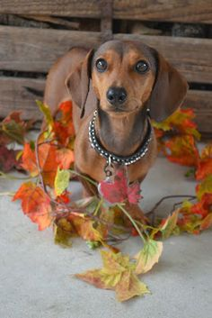 Photos and Text Copyright Dachshund Nola 2011-2013 #teckel #dachshund #dackel