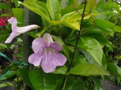 Clytostoma Callistegioides = Violet Trumpet vine.