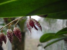 Miniature Orchid Pleurothallis restreptiodes by NoankTropicals, $4.00