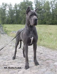 One of the sweetest dogs we ever had was a Dane.  Can't wait to be able to have one again.