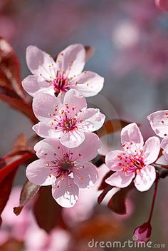 210 best CherryBlossom images on Pinterest   Beautiful flowers     Pink cherry blossom by Olinkau  via Dreamstime