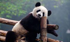 How to Volunteer with Pandas in Chengdu, Panda Volunteer Program Taipei, Wolverine Xmen, Power Animal, Volunteer Programs, Cute Panda, Panda Panda, Panda Bears, Panda China, Animals