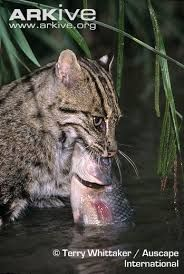 Fishing cat. These cats will also prey on frogs, crustaceans, snakes, birds, calves, goats, and dogs, and will scavenge on carcasses of larger animals.