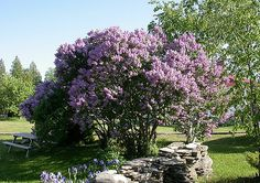 I photographed this tree in a garden near the Cabot Head Lighthouse in the Bruce Peninsula. Syringa Vulgaris, Rocky Hill, Sun Garden, Flowering Trees, Outdoor Life, Trees To Plant, Planting Flowers, Landscape, Gardens
