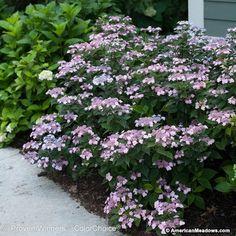 Mountain Hydrangea Tiny Tuff Stuff plant - Photo courtesy of Proven Winners