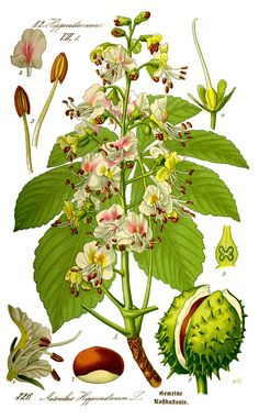 Aesculus hippocastanum : Horse-chestnut / Conker Tree - Comment #1 added by rubusguy at imitate art