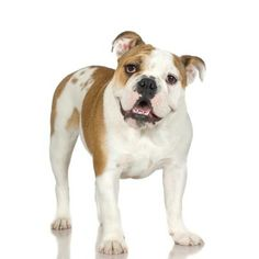 Between their pushed-in faces and short, stocky bodies, the English bulldog's overall impression is one of a smooshed dog. This overall squished look may make him adorable, but it adds an element of hygiene care that most breeds lack. Infection can develop quickly in those dark crevices without proper cleaning.