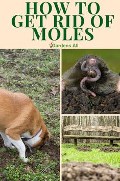 If you've had your garden invaded and plants destroyed by moles like we have, you're now on a mission to learn how to get rid of moles. Mole problems are a serious threat to your yard and garden. moles tend to prefer the nicest yards. Skunk Smell In House, Mole Removal Yard, Coffee Grounds For Plants, Moles In Yard, Fake Wasp Nest, Getting Rid Of Gophers, Remedies For Bee Stings, Mole Repellent, Gardens