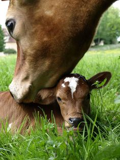 Because baby cows are seriously the cutest ever Cute Baby Cow, Baby Cows, Cute Cows, Cute Baby Animals, Farm Animals, Animals And Pets, Cute Babies, Beautiful Creatures, Animals Beautiful