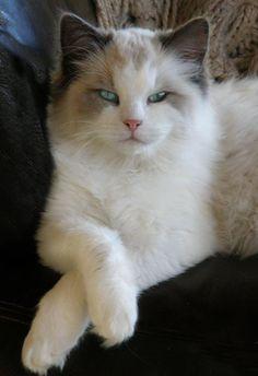 Beautiful Ragdoll Cat <3