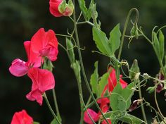 Tuoksuherne, Lathyrus odoratus - Kukkakasvit - LuontoPortti