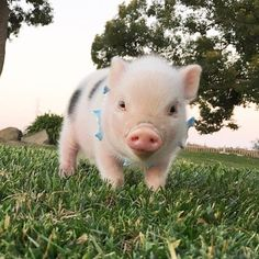 The Worlds Smallest Pet Pigs「Yes, I love to rock my dolphin collar! *Collar made by Cute Baby Pigs, Cute Piglets, Baby Teacup Pigs, Small Pet Pigs, Animals And Pets, Funny Animals, Farm Animals, Cute Little Animals, Cute Creatures
