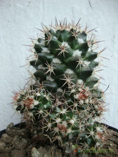 Cacti And Succulents, Planting Succulents, Cactus Plants, Cactus Identification, Cactus Names, Agaves, Cactus Y Suculentas, Garden Beds, Trees To Plant