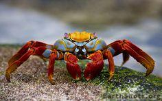 A Sally Lightfoot Crab - the Galapagos Islands, Ecuador