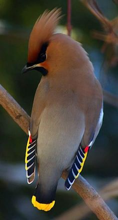 The Bohemian waxwing is a starling-sized passerine bird that breeds in the northern forests of Eurasia and North America. It has mainly buff-grey plumage, black face markings and a pointed crest. Wikipedia