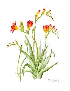 Botanical Flowers, Botanical Prints, Watercolor Flowers, Watercolor Paintings, Watercolour, Freesia Flowers, Flower Art Drawing, Dragonfly Art, Guache