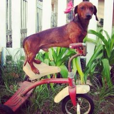 I want to ride my bicycle, I want to ride my bike. Dachshund Breed, Dachshund Love, Dog Pictures, Animal Pictures, Crusoe The Celebrity Dachshund, Fabulous Fox, Pointer Dog, Sausage Dogs, Wire Fox Terrier