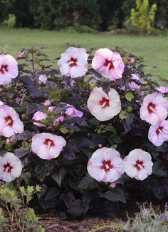 """Our Summerific line of perennial hibiscus is absolutely stunning. Each bloom reaches up to 8"""" in width. But the deer are not impressed, the scent tells them to move on to find another variety to munch on in the garden. This is Perfect Storm hibiscus, new this spring. Blooms appear in late summer, a welcome time for new color in the garden."""
