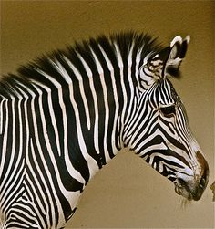 ZEBRA | Flickr - Photo Sharing!