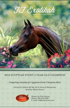 E-Newsletters :: Arabian Horses, Stallions, Farms, Arabians, for sale - Arabian Horse Network, www.arabhorse.com