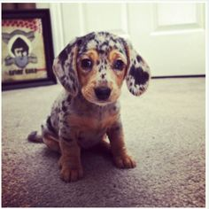 THE CUTEST....dapple doxie...