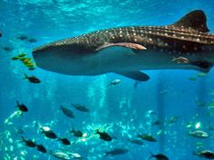 Rhincodon typus (Whale Shark), Photographer: Brennan Peabody, http://eol.org/data_objects/2059873