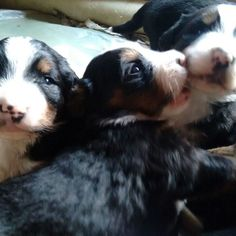 The growing ups #bernesemountaindog #bernesepuppy #ventadecachorros