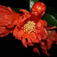Pomegranates are all over Guatemala. This is a cluster of buds. Wait a month depending on rain, time to harvest. #guatemala #seeyouinguatemala #pomegranate #fruit #flower #bud #australia #newyorkcity #newzealand #japan #picoftheday #instagram #travel #eating #juice #red #nicaragua #elsavador #ecuador #costaricagram #panamacity