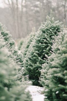 I loooove Christmas tree 🎄 farms. Like legit, go pick out & cut down tree farms 😊. Christmas Time Is Here, Merry Little Christmas, Noel Christmas, Winter Christmas, Xmas, Green Christmas, Christmas Tree Farms, Christmas Tree Cutting, Magical Christmas