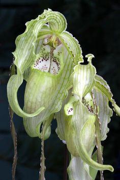 Orchid...Phragmipedium Court Jester