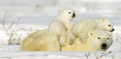 In den ersten Tagen nach dem Verlassen der winterlichen Schneehöhle, die auch Geburtsstätte ist, hängen die jungen Eisbären buchstäblich an ihrer Mutter. Die aber ist ausgehungert und muss dringend Futter suchen – Diese Karte hier online kaufen: http://bkurl.de/pkshop-211131 Art.-Nr.: 211131 Mutterpflichten | Foto: © Thorsten Milse | Text: Rolf Bökemeier