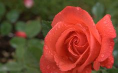 https://flic.kr/p/zh6kxA | roses wallpaper | roses wallpaper