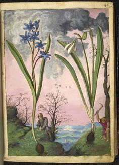 """Full page botanical painting of Galanthus (Snowdrop) on the right and a blue-flowering bulb, probably Ipheion on the left, with a botanist and a young man gathering plants on a mountain top.""   From Dioscorides' 'De re medica', by Pietro Andrea Mattioli, Physician of Siena, assembled and illustrated by Gherardo Cibo—ca. 1564-1584."