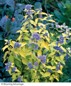 Sunshine Blue Golden Bluebeard (Caryopteris incana 'Jason') is a striking, late-season shrub sporting a classic gold and blue color combo. Click through to our site to get fresh ideas for how to add it to your garden! Foliage Plants, Classic Gold, Landscaping Tips, Cool Plants, Drought Tolerant, Blue Flowers, Garden Plants, Color Combos, Shrubs