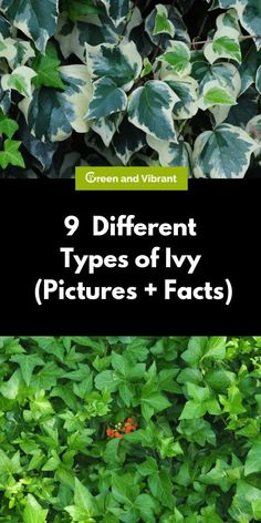 Ivy plants are climbing evergreen vines that offer great versatility in the home garden. There are many types of ivy to choose from, depending on your climate and what you want from your ivy plant. English Ivy Indoor, English Ivy Plant, Ivy Plant Indoor, Best Indoor Plants, Outdoor Plants, Indoor Garden, Outdoor Spaces, Evergreen Climbing, Evergreen Vines